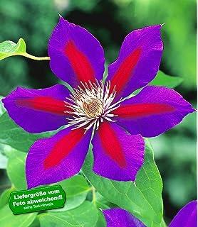 Baldur garten rosen  BALDUR-Garten Rambler-Rosen 'Bleu Magenta', 1 Pflanze: Amazon.de ...
