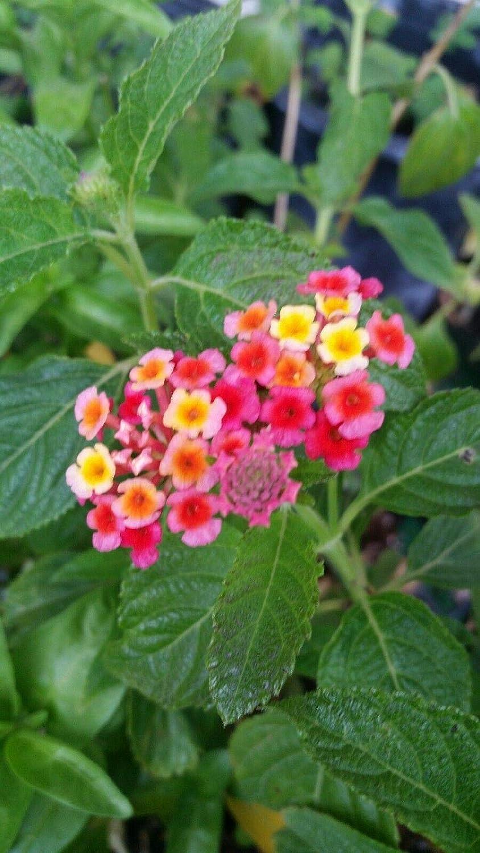 LIVE POTTED 4 PLANTS.Lantana ; red /& orange;ing
