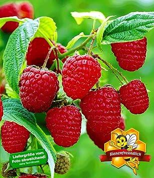 Baldur Garten Himbeeren Twotimer Sugana 1 Pflanze Rubus Idaeus