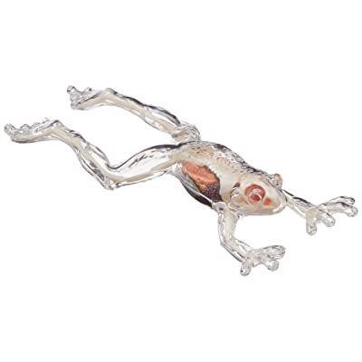 TEDCO 4D - Full Skeleton Frog: Toys & Games