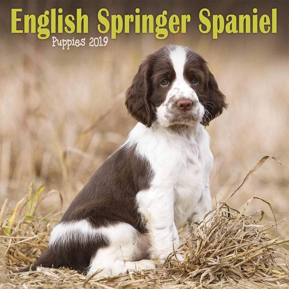 English Springer Spaniel Puppies M 2019 Mini Square: Amazon