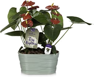 Hallmark Flowers Happy Hearts Anthurium Duo in 10-Inch Mint Green Ceramic Container