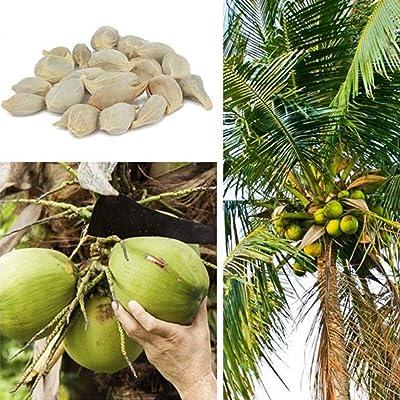 discountstore145 20Pcs Coconut Tree Seeds Beach Juicy Delicious Fruit Garden Yard Bonsai Decor - Coconut Tree Seeds : Garden & Outdoor