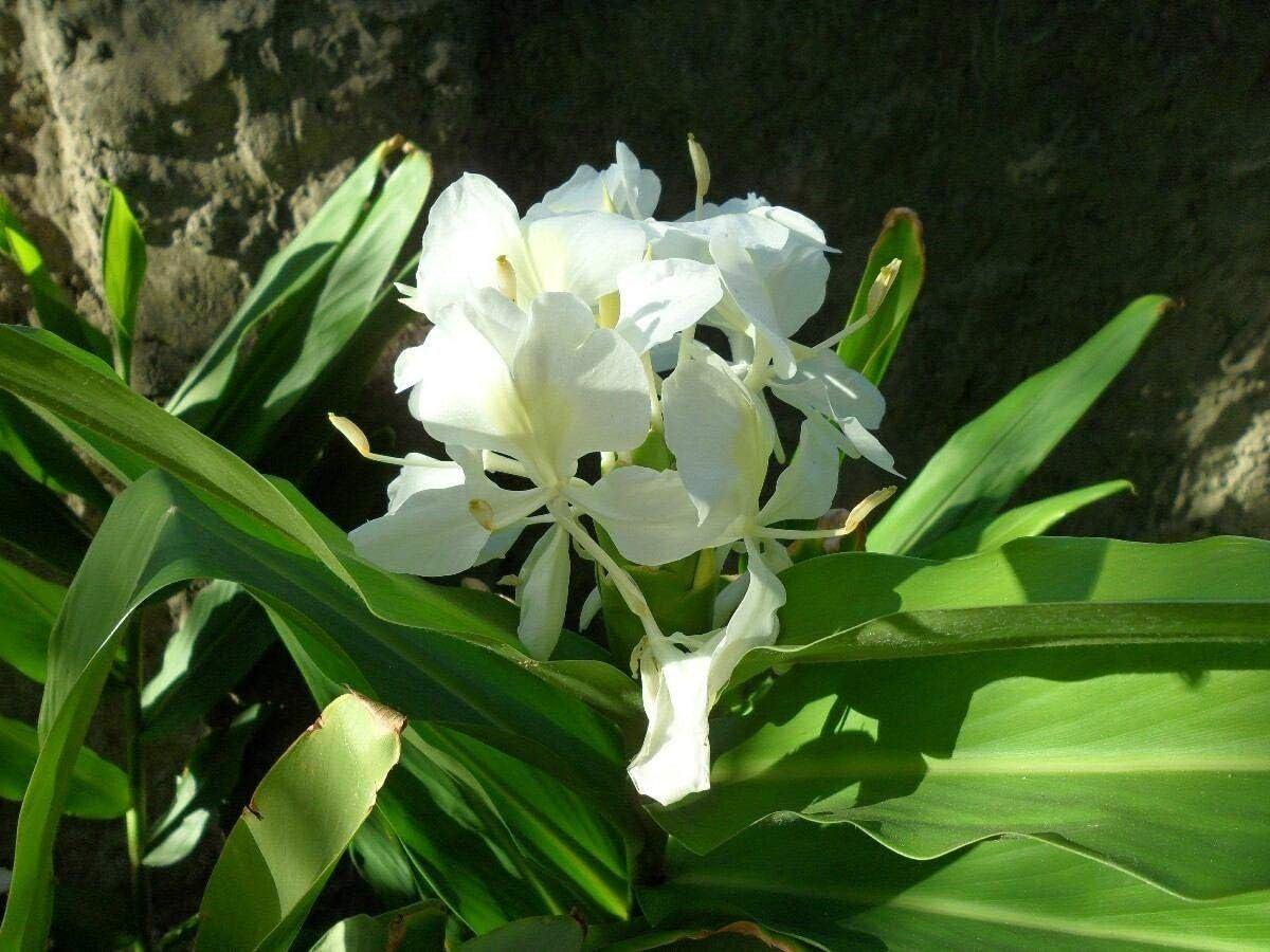 White Ginger Lily Bulb Rhizomes Plant Flowers Tropical