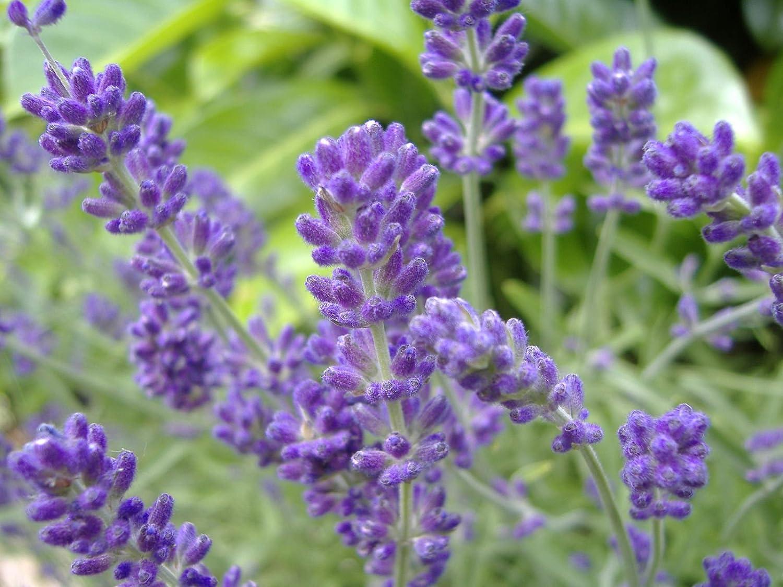 Picture of Live English Lavender aka Lavandula a. 'Vera' Perennial Plant Fit 1 Gallon Pot