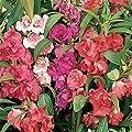 Burpee Mix Balsam Seeds 75 seeds