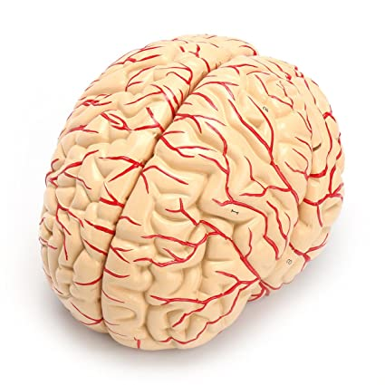 Amazon Life Size Human Anatomical Brain Artery Anatomy Medical