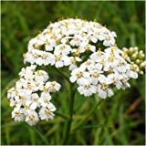 Package of 500 Flower Seeds, White Yarrow (Achillea millefolium) Non-GMO Seeds by Seed Needs