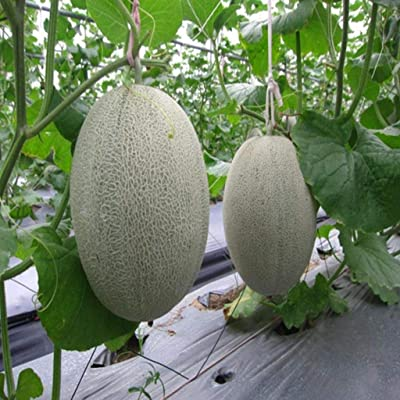 XKSIKjian's Garden, 50Pcs Cantaloupe Seed Organic Sweet Summer Fruit Melon Farm Ornamental Plant Home Decor Non-GMO Open Pollinated Seeds for Planting - Cantaloupe Seeds : Garden & Outdoor