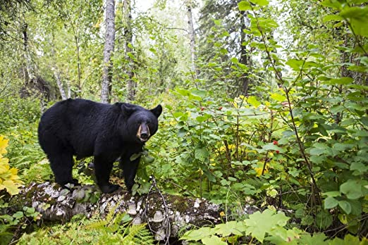 Amazon Com Posterazzi Dpi12317955 Black Bear Ursus Americanus Standing On A Log In A Lush Forest South Central Alaska United States Of America Photo Print 19 X 12 Multi Posters Prints