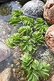 Wasserpflanzen Wolff - Salvinia natans - Schwimmfarn - schwimmender Büschelfarn
