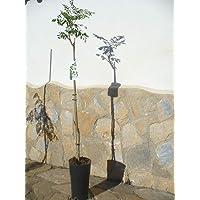 Moringa oleifera – Árbol de periquito marino, aprox. 85 – 130 cm de altura / Árbol sanitario de crecimiento rápido