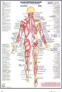 GB Eye LTD, Human Body, Músculos posteriores (Inglés