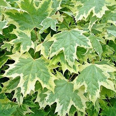"20 Silver King Norway Maple Seeds - Acer platanoides"" Silver King"" : Garden & Outdoor"