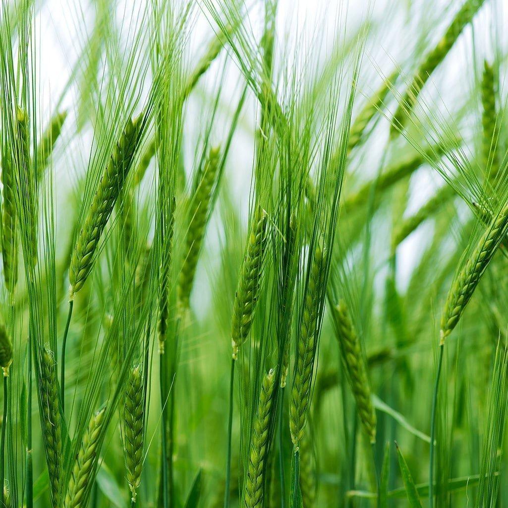 Cebada mondada Bio, 10 Libras - no OGM, kosher, crudo, a ...