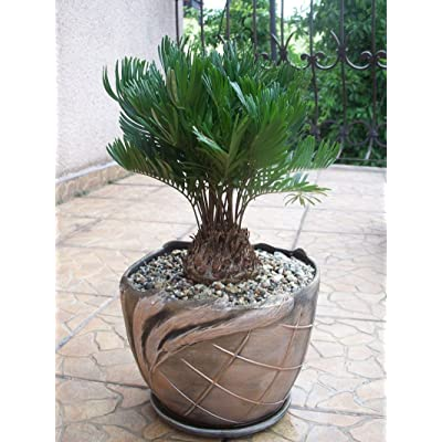 ZAMIA FLORIDANA coontie palm florida native cycad tree palms plant seed 10 seeds : Garden & Outdoor