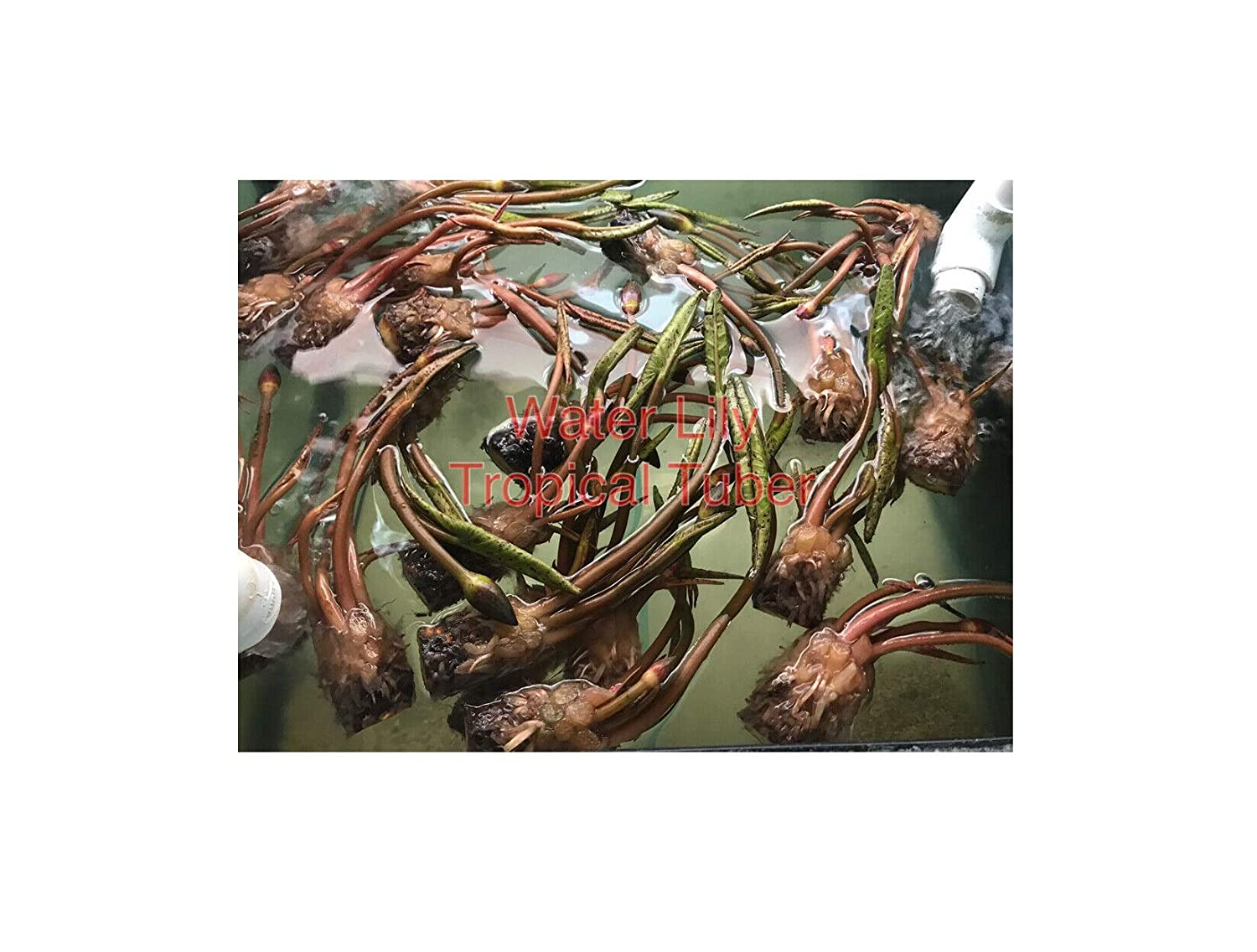 New Nymphaea ply Pink Tropical Water Lily Tuber Rhizome Pond Plant a068 1 pcs