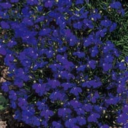 Amazoncom 50 Lobelia Midnight Blue Seeds Flowering Garden Plant