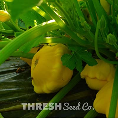 Yellow Scalloped Bush Squash - 25 Seeds : Garden & Outdoor