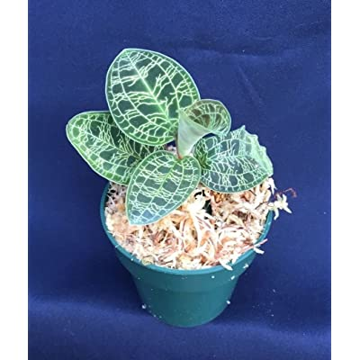 """MACODES PETOLA, THE DIAMOND OF THE JEWEL ORCHIDS, SHIPPED IN A 2 1/2"""" POT : Garden & Outdoor"""