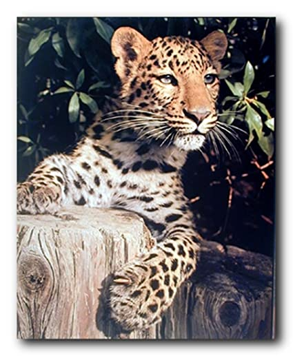 803fb47b Leopard (Panther, Jaguar, Big Cat) Wild Animal Wall Decor Art Print Poster  (16x20)