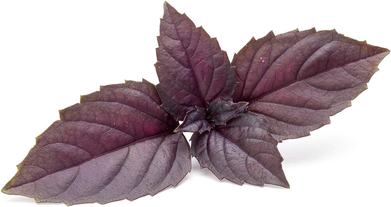 Basil Herb Garden Seeds - Red Rubin - 4 Oz - Non-GMO Herbal Gardening & Microgreens Seeds
