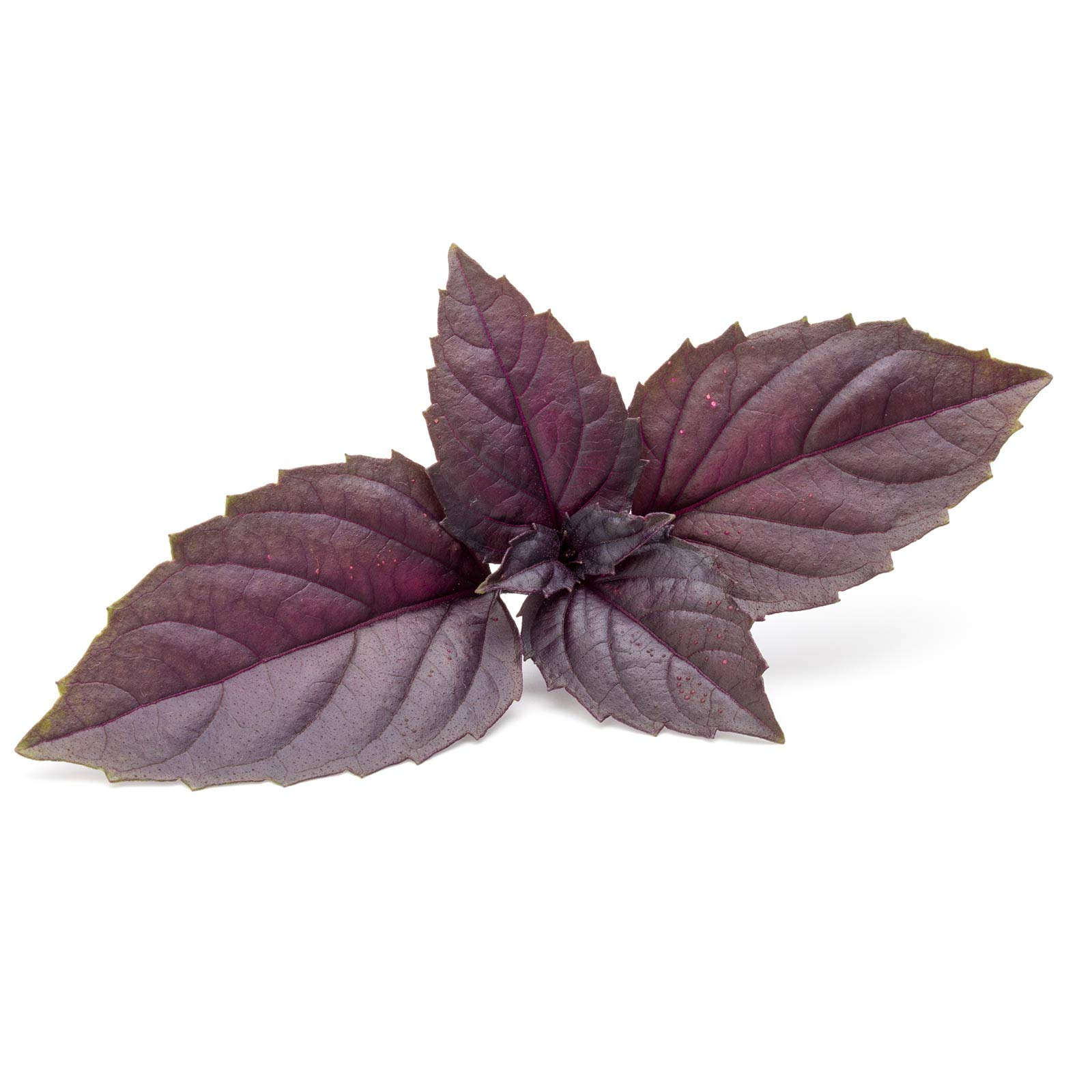 Basil Herb Garden Seeds - Red Rubin - 5 Lb - Non-GMO Herbal Gardening & Microgreens Seeds