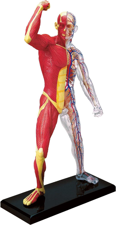 Modelo anatómico para niños