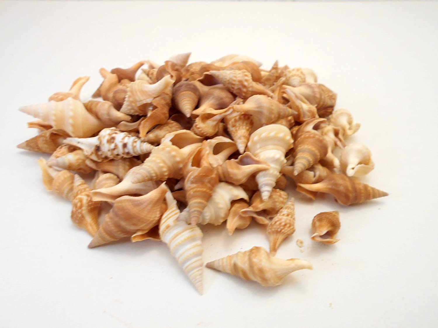 Amazon.com: BULK 1 lb (500-600) Javana Seashells 3/4