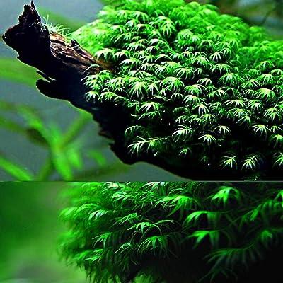 MinGe 100pcs Aquarium Grass Plant Seeds Moss Grass Landscape Decorations Aquatic Plants : Garden & Outdoor
