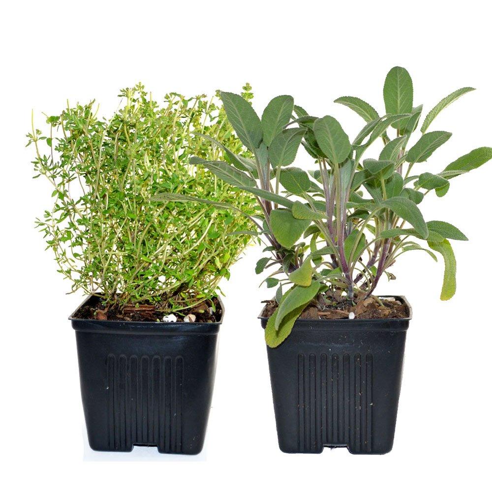 Sage & Thyme Plants Set of 2 Organic Non GMO Stargazer Perennials