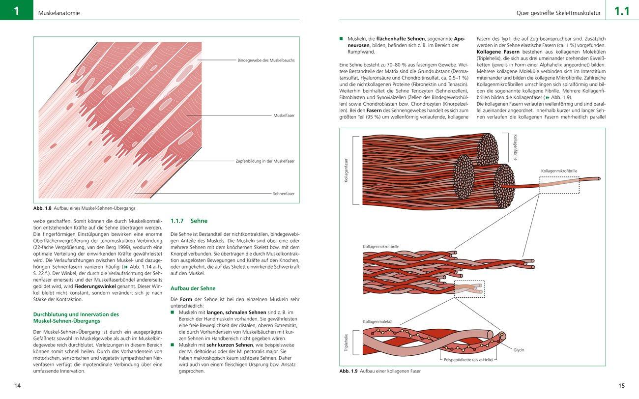 Der Muskel im Sport: Anatomie, Physiologie, Training, Rehabilitation ...