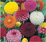 DAHLIA - POMPONE DOUBLE MIXED - 150 FINEST SEEDS