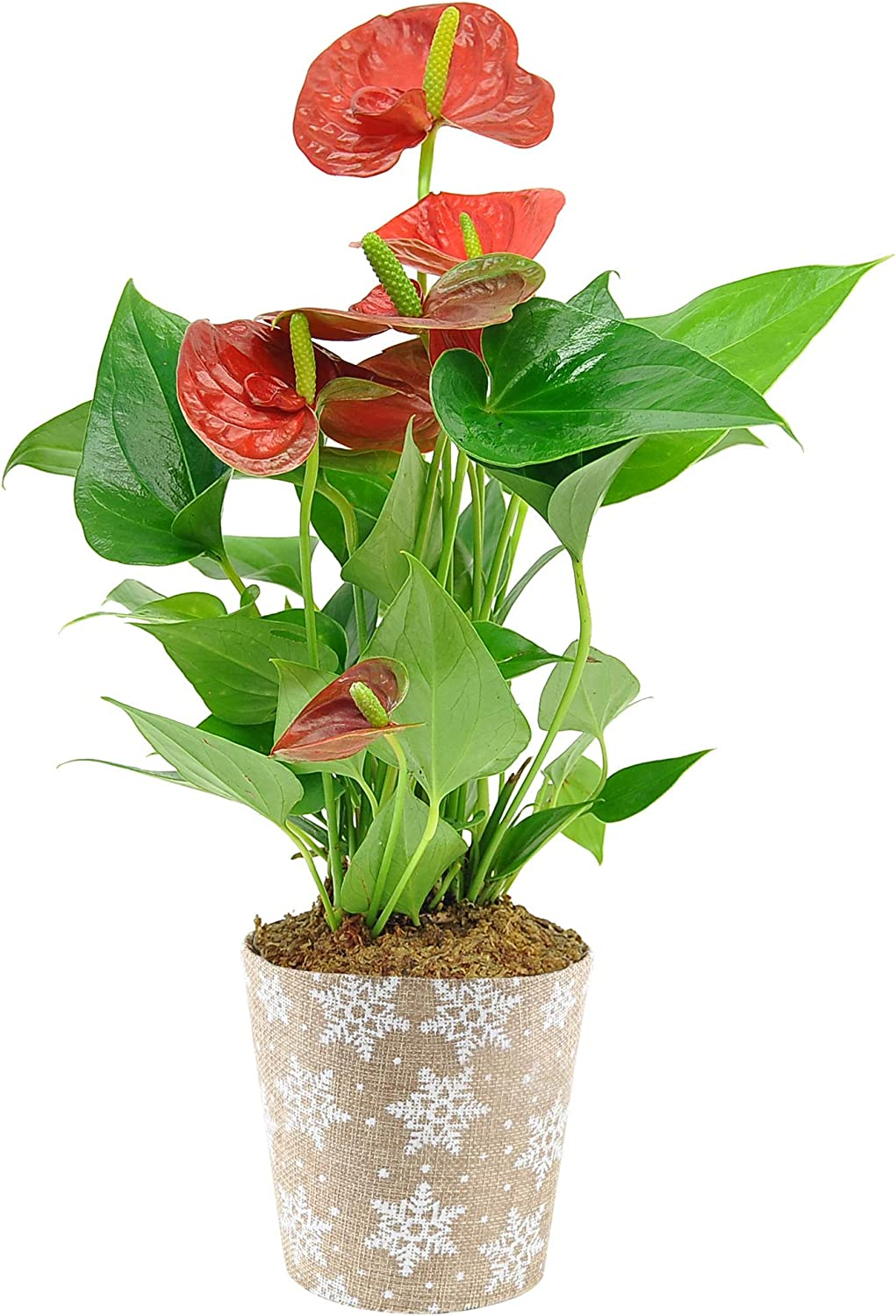 Costa Farms Live Anthurium Indoor Plant in Premium Burlap Planter, Candy Cane Pick, 12 Inches Tall, Christmas or Holiday Décor