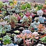 YESZ Sementes de Plantas, Sementes de Flores, 400Pcs Sementes Suculentas Mistos Lithops Rare Pedras Vivas Planta Bonsai Home