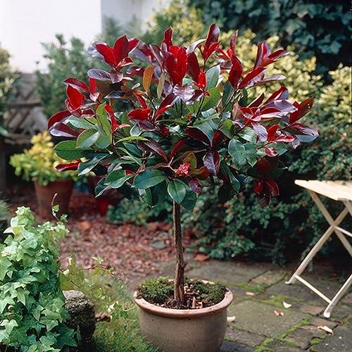 YouGarden Photinia U0027Little Red Robinu0027 Standard Tree 1M Tall