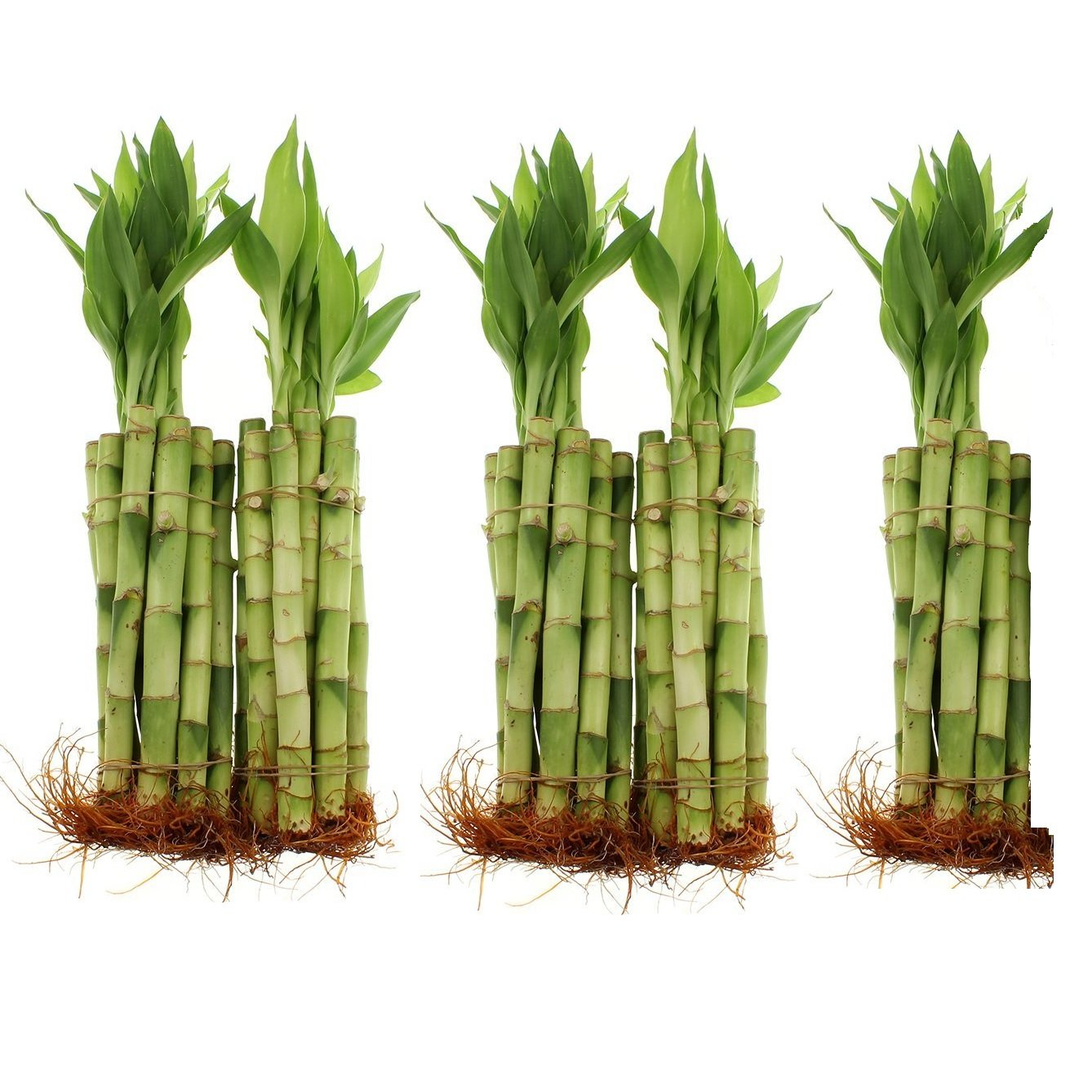 NW Wholesaler - 8'' Straight Lucky Bamboo Stalk (50)