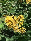 #1343 Night Blooming Yellow Jasmine 7 SeedsVery