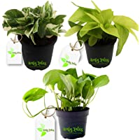 Leafy Tales Indoor Air Purifying Money Plant Set of 3 Combo (Green Money Plant, Golden Money Plant, White Money Plant) | Anti Pollution Plants