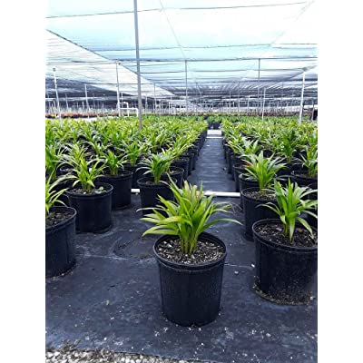 PlantVine Dypsis lutescens, Areca Palm - Extra Large - 12-14 Inch Pot (7 Gallon), Live Indoor Plant : Garden & Outdoor