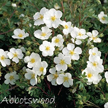 Fingerstrauch \'Abbotswood\' – Potentilla – Dasiphora fruticose ...