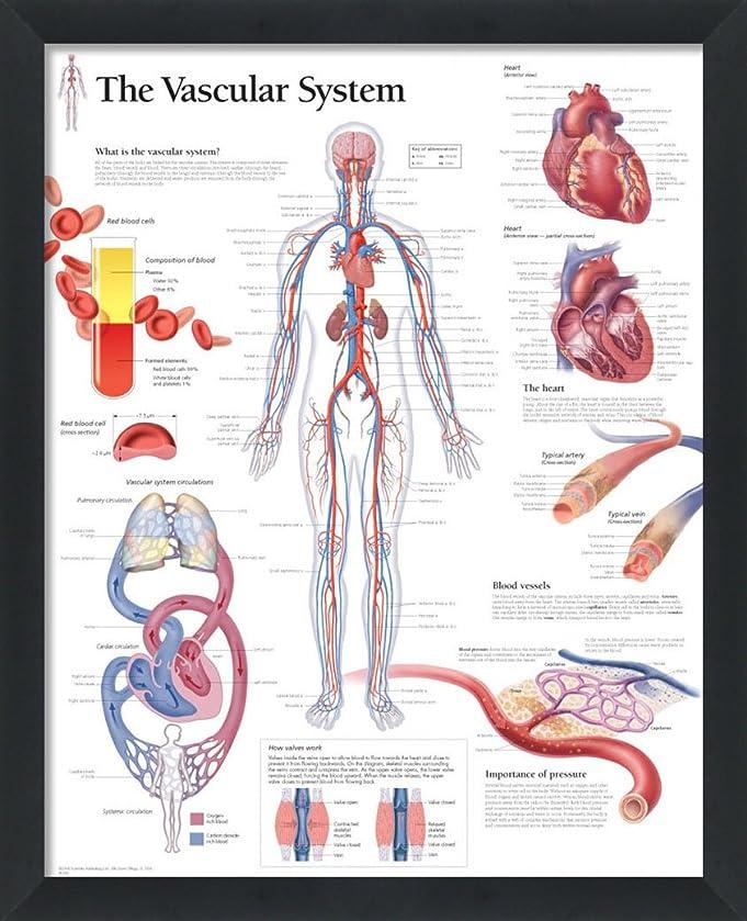 Amazon Set Of 4 Framed Vascular System Digestive Respiratory