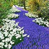 Grape Hyacinth Bulbs (Muscari) - Armeniacum - Bag of 100, Spring/Deep Blue Flowers