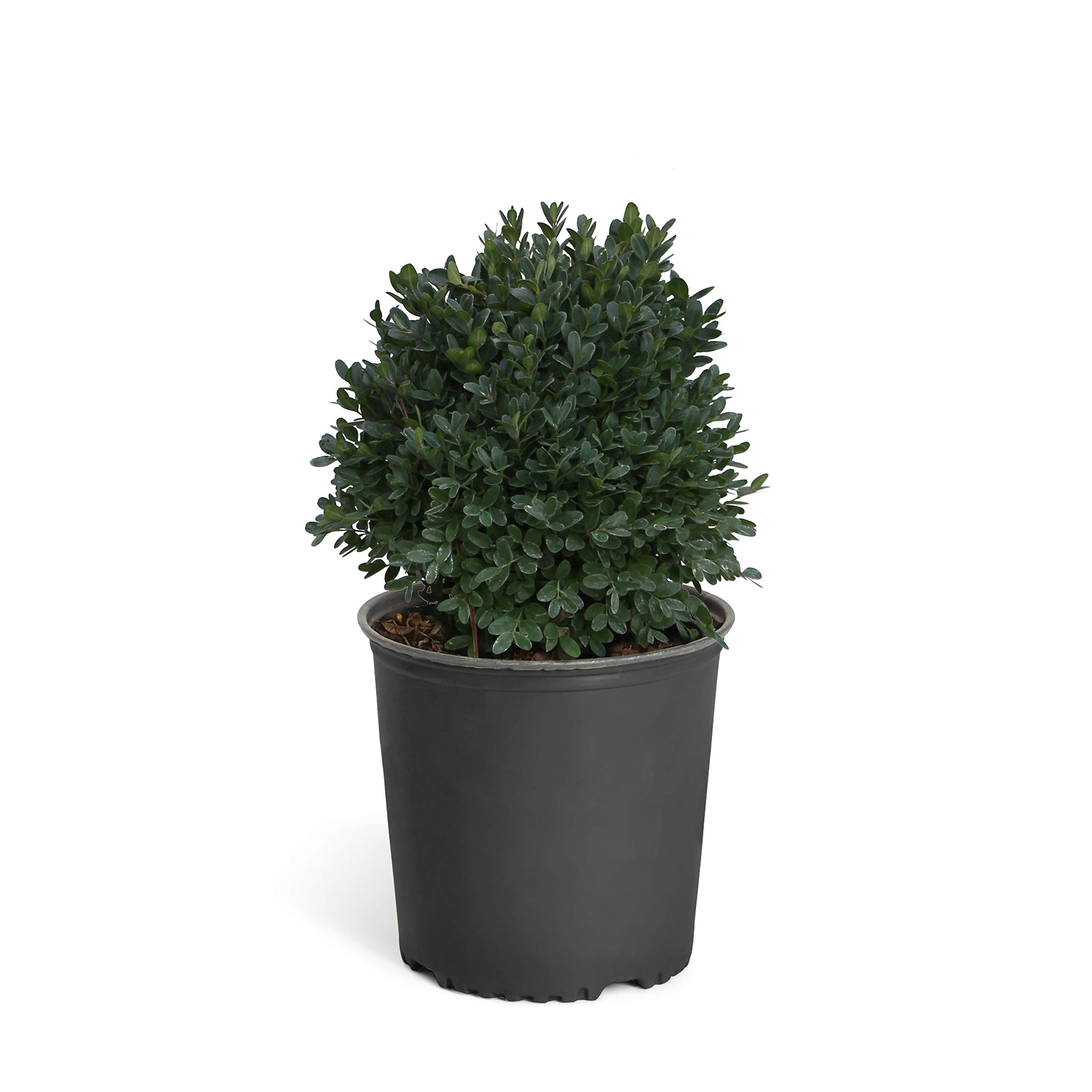 Dwarf English Boxwood - 2 Gallon by Brighter Blooms (Image #1)