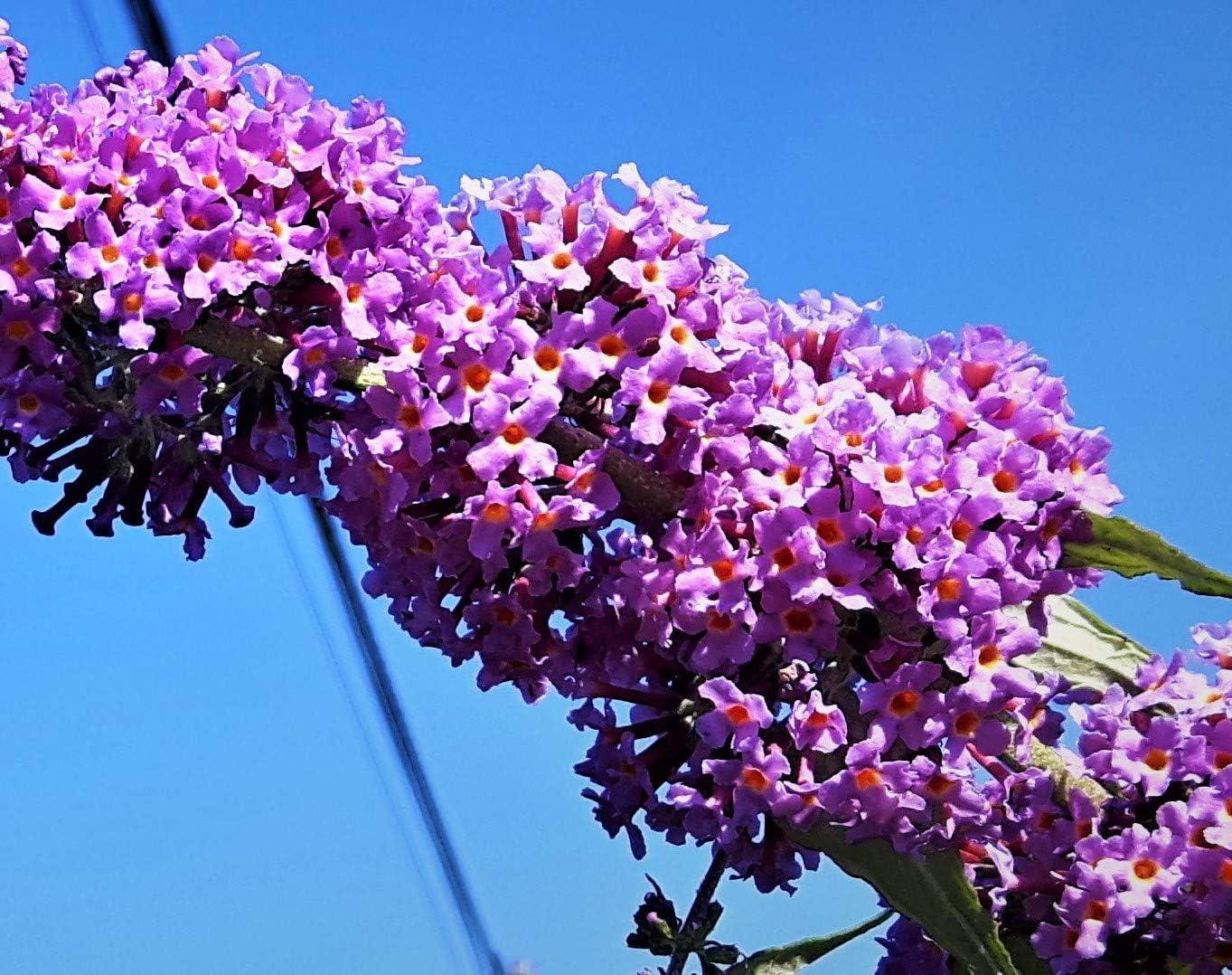 BUDDLIEA//BUDDLEJA//BUDDLIEA DAVIDII Lilac Princess Butterfly Bush in 9cm
