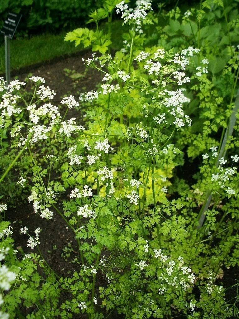 Anthriscus Cerefolium Herb Flower Persil Gourmet Homely Graines de bonsa/Ã/¯ 150 Cerfeuil jardin