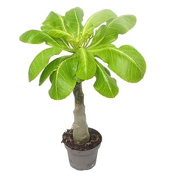 1 Hawaii Palme ungefähr 40 cm brighamia insignis Zimmerpflanze ...
