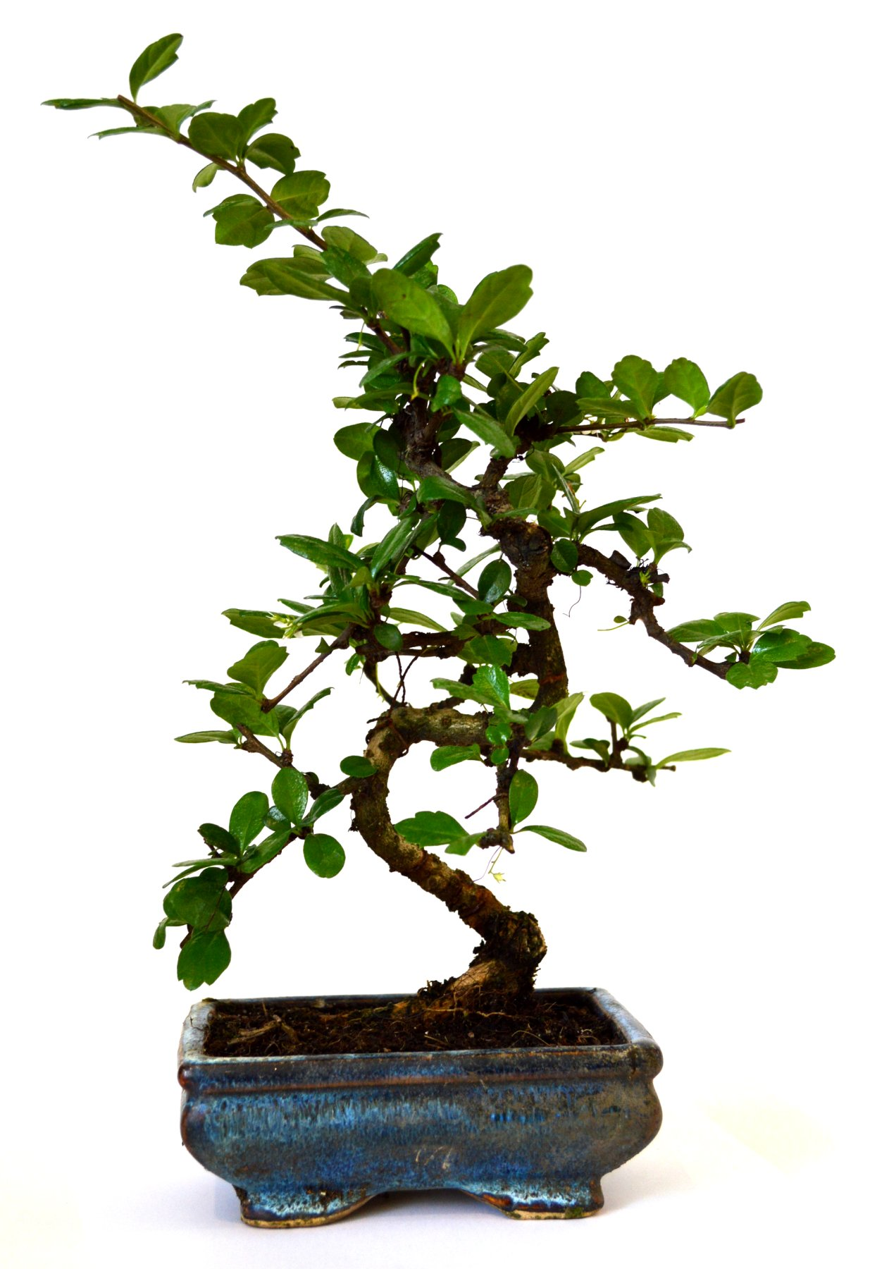 9GreenBox - Fukien Tea Bonsai with 6'' Ceramic Pot by 9GreenBox.com