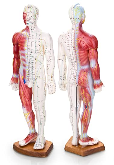 """22"""" Human Acupuncture Point and Muscle Male Model with great details and  color coded"""