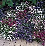Outsidepride Lobelia Riviera Mix - 5000 Seeds